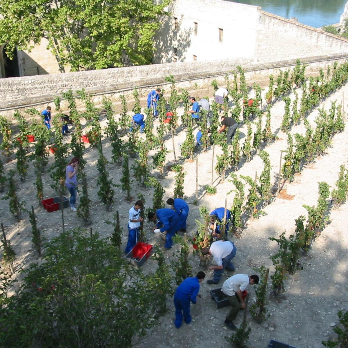 Vendanges Clos de la Vigne du Palais des Papes